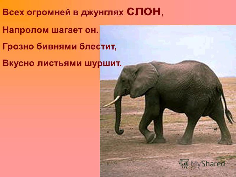 Всех огромней в джунглях слон, Напролом шагает он. Грозно бивнями блестит, Вкусно листьями шуршит.