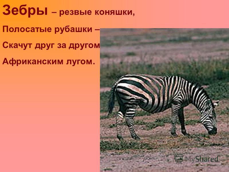 Зебры – резвые коняшки, Полосатые рубашки – Скачут друг за другом Африканским лугом.