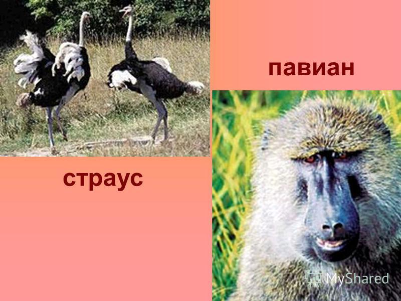 павиан страус