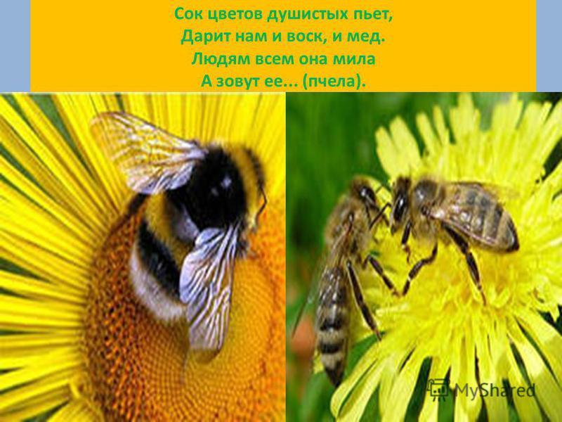 Сок цветов душистых пьет, Дарит нам и воск, и мед. Людям всем она мила А зовут ее... (пчела).