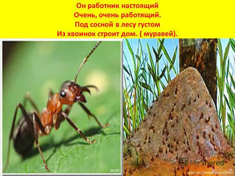 Он работник настоящий Очень, очень работящий. Под сосной в лесу густом Из хвоинок строит дом. ( муравей).
