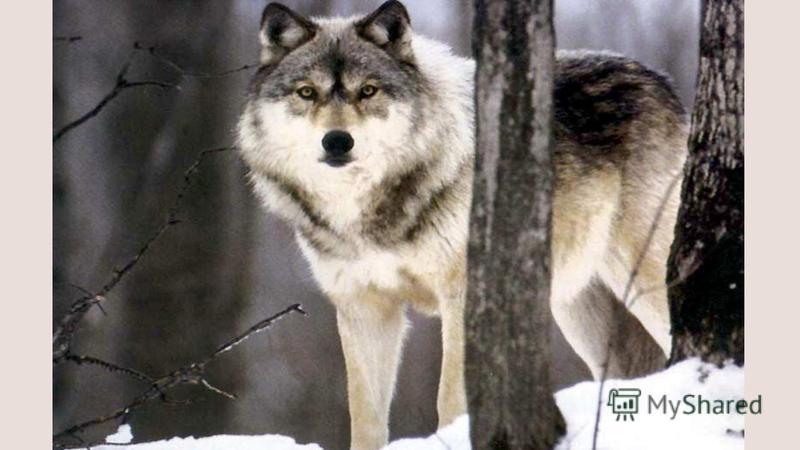 Злой и страшный серый зверь, Водится в лесу теперь, Всех зайчат перепугал, Также белок разогнал, Но он бедный и голодный, Хоть и страшный и проворный.