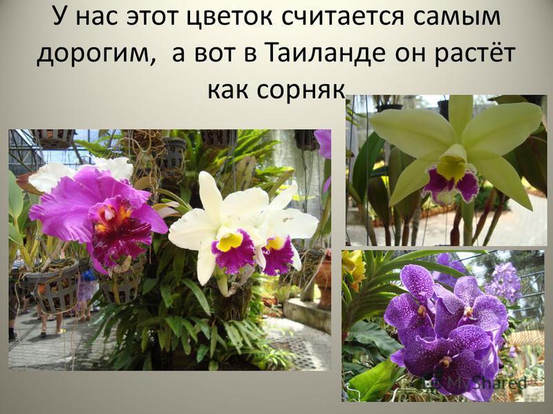 У нас этот цветок считается самым дорогим, а вот в Таиланде он растёт как сорняк