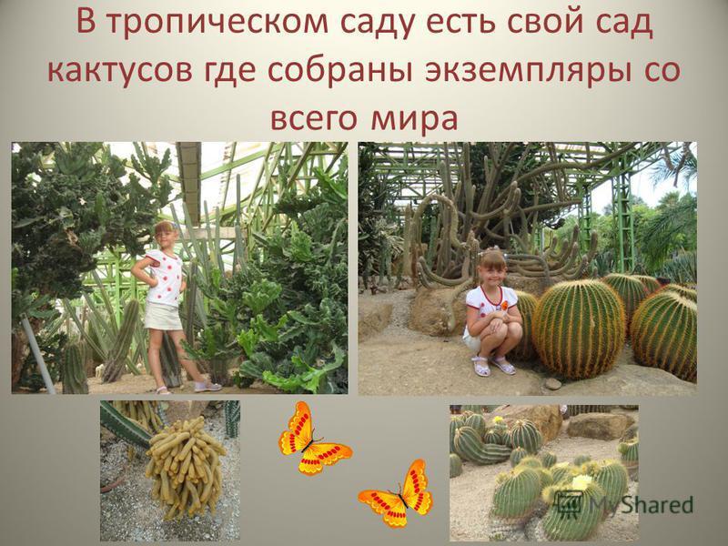 В тропическом саду есть свой сад кактусов где собраны экземпляры со всего мира