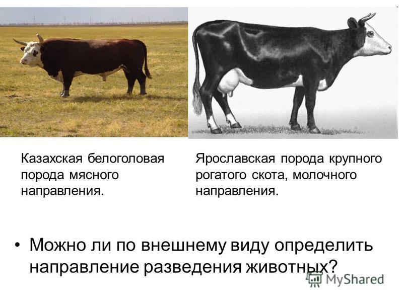 Можно ли по внешнему виду определить направление разведения животных? Казахская белоголовая порода мясного направления. Ярославская порода крупного рогатого скота, молочного направления.