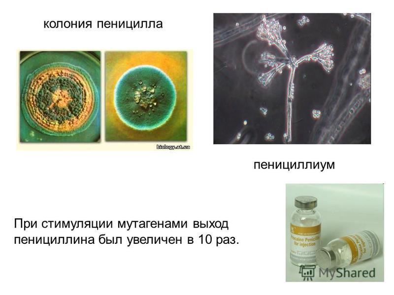 колония пеницилла пенициллиум При стимуляции мутагенами выход пенициллина был увеличен в 10 раз.