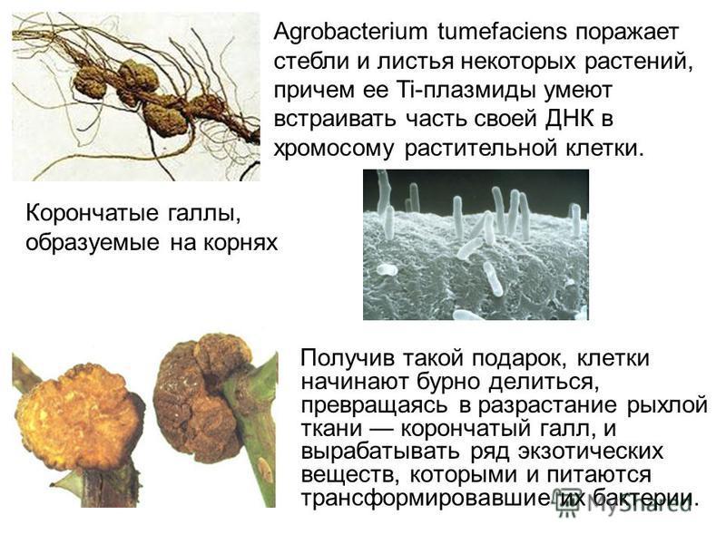 Получив такой подарок, клетки начинают бурно делиться, превращаясь в разрастание рыхлой ткани корончатый галл, и вырабатывать ряд экзотических веществ, которыми и питаются трансформировавшие их бактерии. Корончатые галлы, образуемые на корнях Agrobac