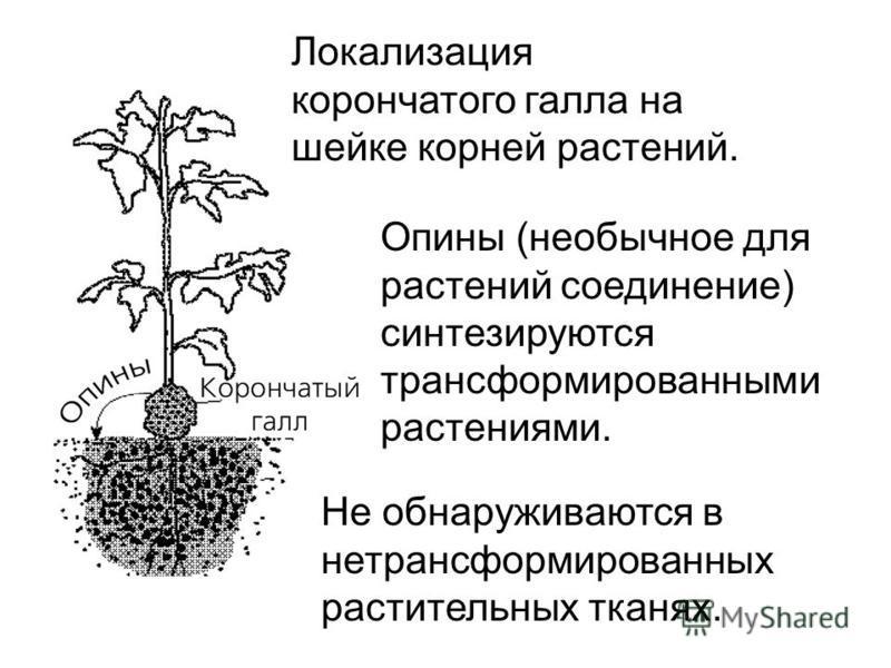 Локализация корончатого галла на шейке корней растений. Опины (необычное для растений соединение) синтезируются трансформированными растениями. Не обнаруживаются в нетрансформированных растительных тканях.