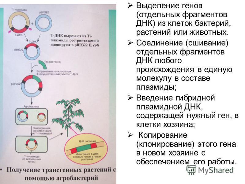 Выделение генов (отдельных фрагментов ДНК) из клеток бактерий, растений или животных. Соединение (сшивание) отдельных фрагментов ДНК любого происхождения в единую молекулу в составе плазмиды; Введение гибридной плазмидной ДНК, содержащей нужный ген,