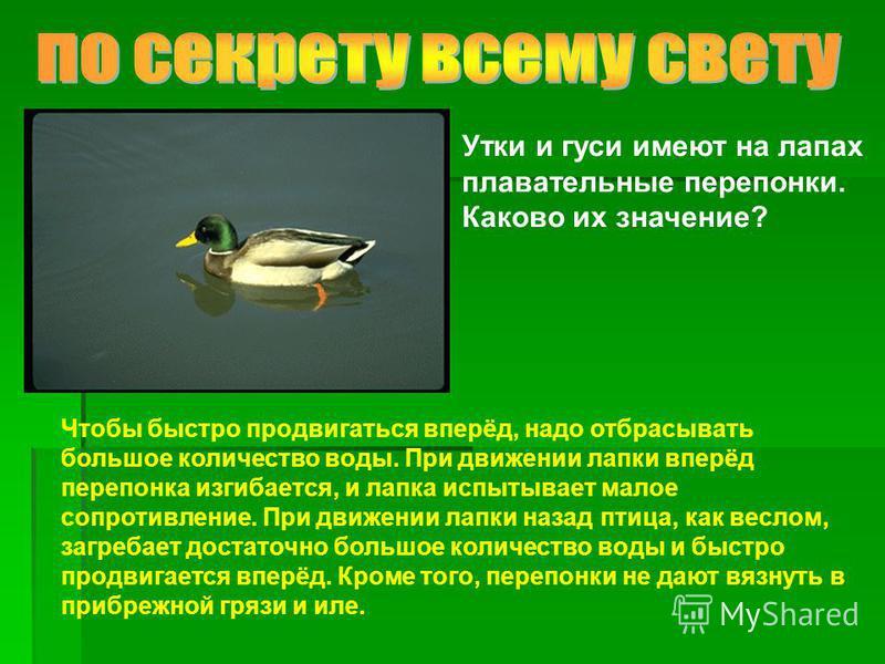 Утки и гуси имеют на лапах плавательные перепонки. Каково их значение? Чтобы быстро продвигаться вперёд, надо отбрасывать большое количество воды. При движении лапки вперёд перепонка изгибается, и лапка испытывает малое сопротивление. При движении ла