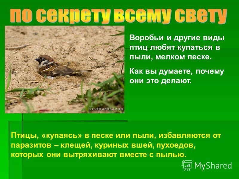 Воробьи и другие виды птиц любят купаться в пыли, мелком песке. Как вы думаете, почему они это делают. Птицы, «купаясь» в песке или пыли, избавляются от паразитов – клещей, куриных вшей, пухоедов, которых они вытряхивают вместе с пылью.