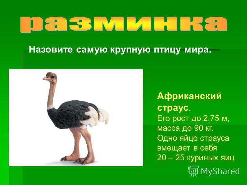 Назовите самую крупную птицу мира. Африканский страус. Его рост до 2,75 м, масса до 90 кг. Одно яйцо страуса вмещает в себя 20 – 25 куриных яиц