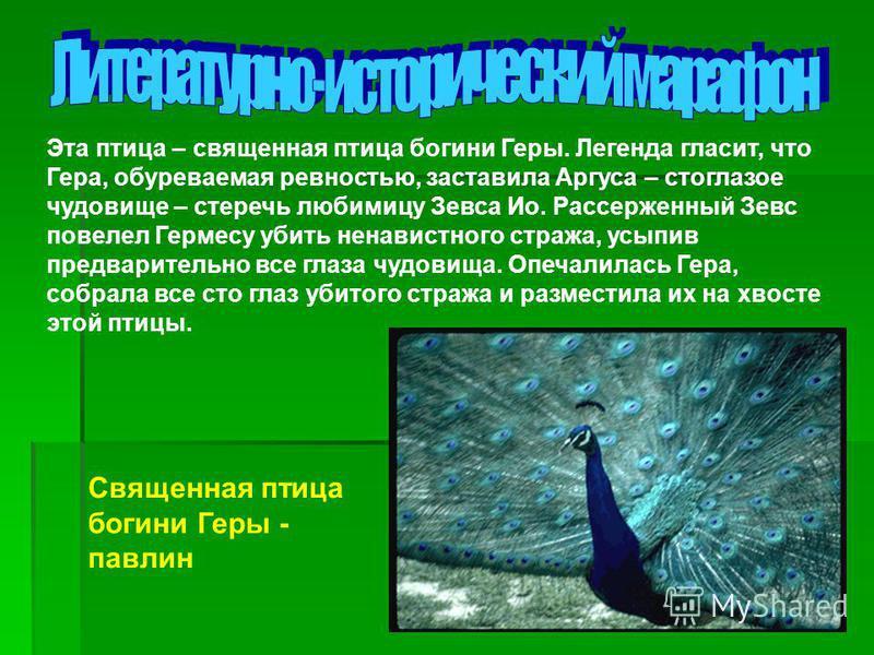 Эта птица – священная птица богини Геры. Легенда гласит, что Гера, обуреваемая ревностью, заставила Аргуса – стоглазое чудовище – стеречь любимицу Зевса Ио. Рассерженный Зевс повелел Гермесу убить ненавистного стража, усыпив предварительно все глаза