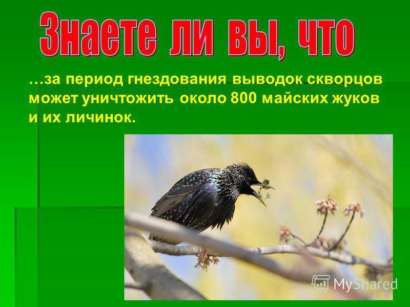…за период гнездования выводок скворцов может уничтожить около 800 майских жуков и их личинок.