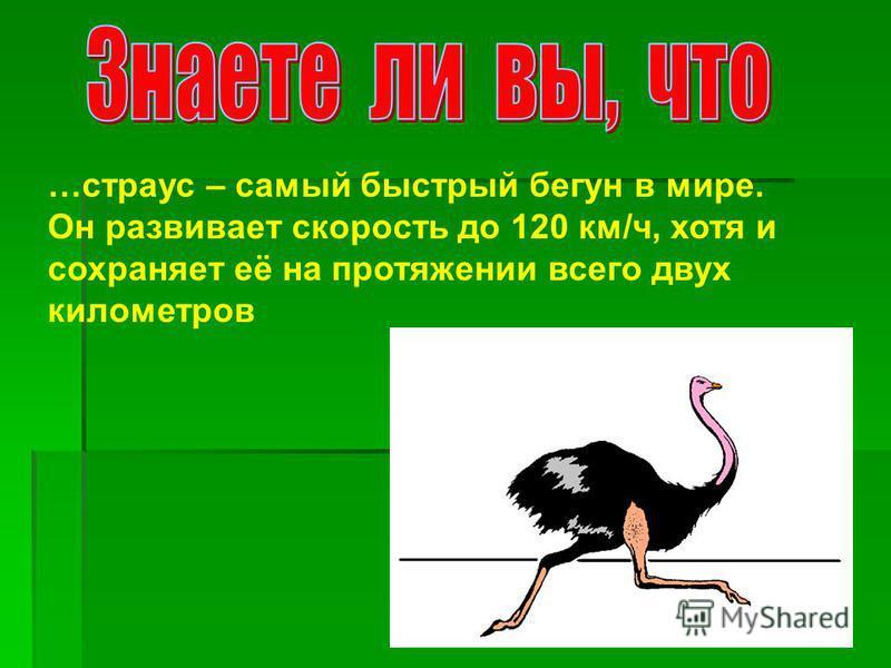 …страус – самый быстрый бегун в мире. Он развивает скорость до 120 км/ч, хотя и сохраняет её на протяжении всего двух километров