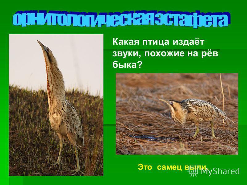 Какая птица издаёт звуки, похожие на рёв быка? Это самец выпи.
