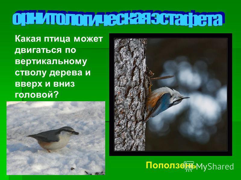 Какая птица может двигаться по вертикальному стволу дерева и вверх и вниз головой? Поползень