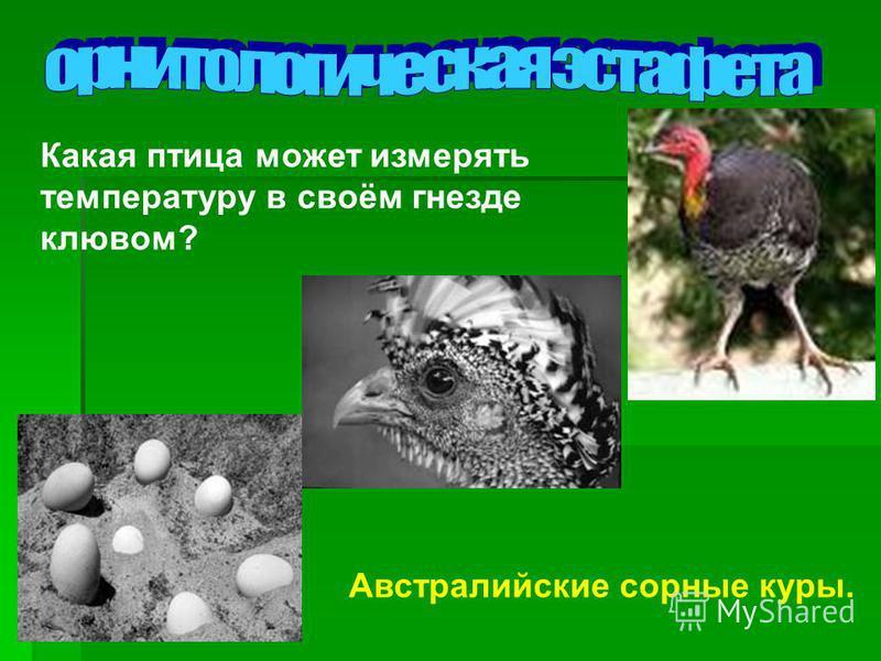 Какая птица может измерять температуру в своём гнезде клювом? Австралийские сорные куры.