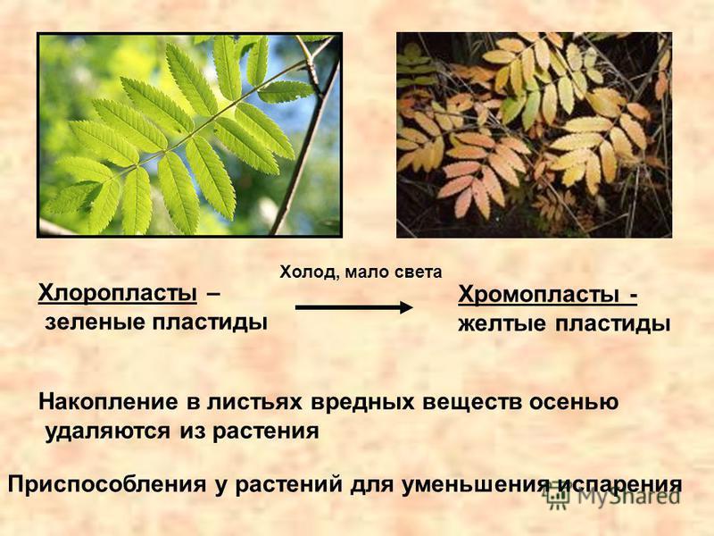 Приспособления у растений для уменьшения испарения Хлоропласты – зеленые пластиды Хромопласты - желтые пластиды Холод, мало света Накопление в листьях вредных веществ осенью удаляются из растения
