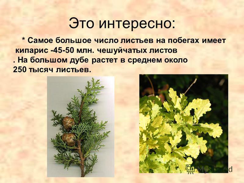 Это интересно: * Самое большое число листьев на побегах имеет кипарис -45-50 млн. чешуйчатых листов. На большом дубе растет в среднем около 250 тысяч листьев.