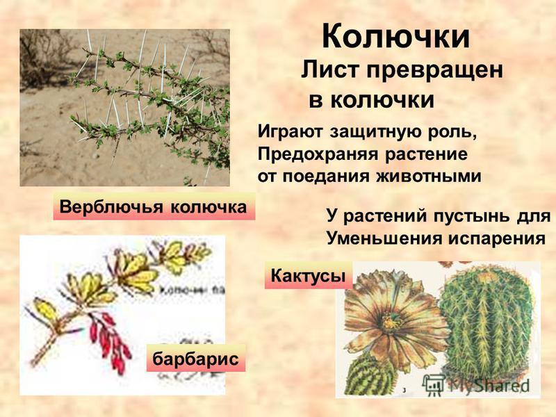 Колючки Лист превращен в колючки Верблючья колючка Кактусы барбарис Играют защитную роль, Предохраняя растение от поедания животными У растений пустынь для Уменьшения испарения