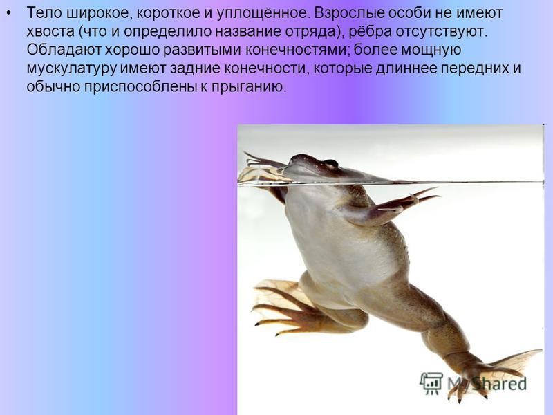 Тело широкое, короткое и уплощённое. Взрослые особи не имеют хвоста (что и определило название отряда), рёбра отсутствуют. Обладают хорошо развитыми конечностями; более мощную мускулатуру имеют задние конечности, которые длиннее передних и обычно при