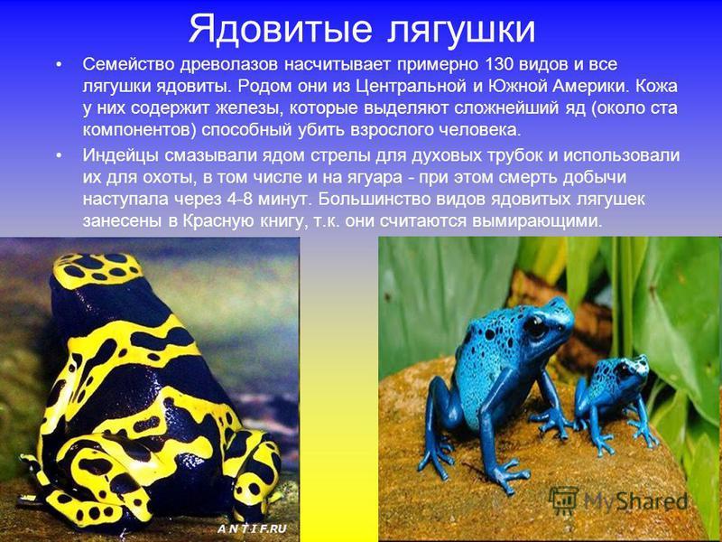 Ядовитые лягушки Семейство древолазов насчитывает примерно 130 видов и все лягушки ядовиты. Родом они из Центральной и Южной Америки. Кожа у них содержит железы, которые выделяют сложнейший яд (около ста компонентов) способный убить взрослого человек