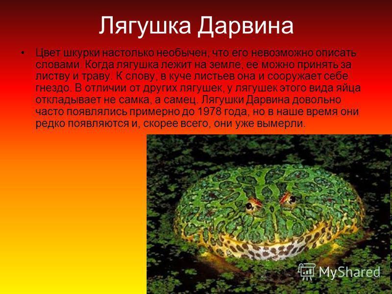 Лягушка Дарвина Цвет шкурки настолько необычен, что его невозможно описать словами. Когда лягушка лежит на земле, ее можно принять за листву и траву. К слову, в куче листьев она и сооружает себе гнездо. В отличии от других лягушек, у лягушек этого ви
