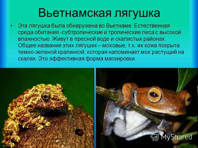 Вьетнамская лягушка Эта лягушка была обнаружена во Вьетнаме. Естественная среда обитания -субтропические и тропические леса с высокой влажностью. Живут в пресной воде и скалистых районах. Общее название этих лягушек – моховые, т.к. их кожа покрыта те
