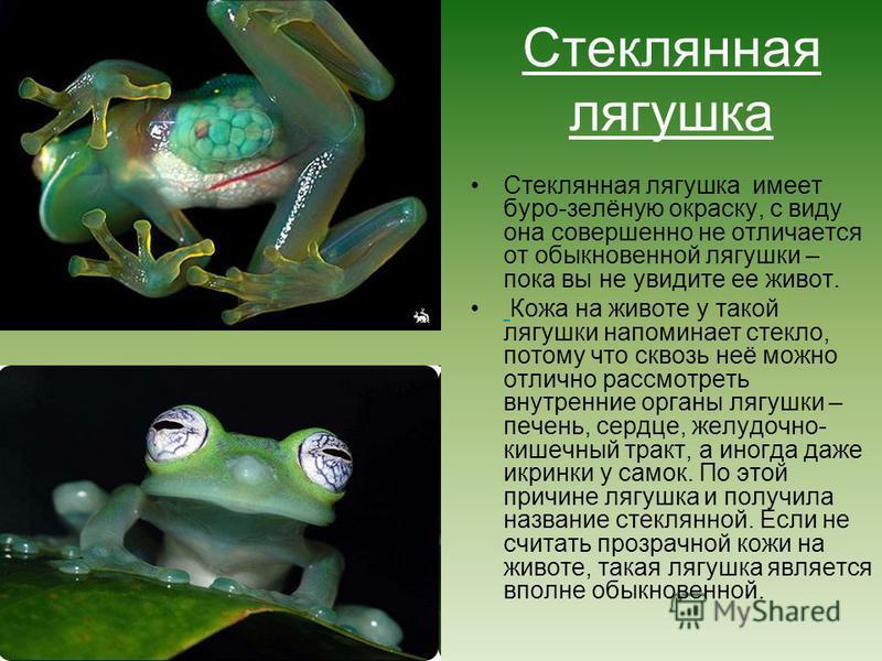 Стеклянная лягушка Стеклянная лягушка имеет буро-зелёную окраску, с виду она совершенно не отличается от обыкновенной лягушки – пока вы не увидите ее живот. Кожа на животе у такой лягушки напоминает стекло, потому что сквозь неё можно отлично рассмот