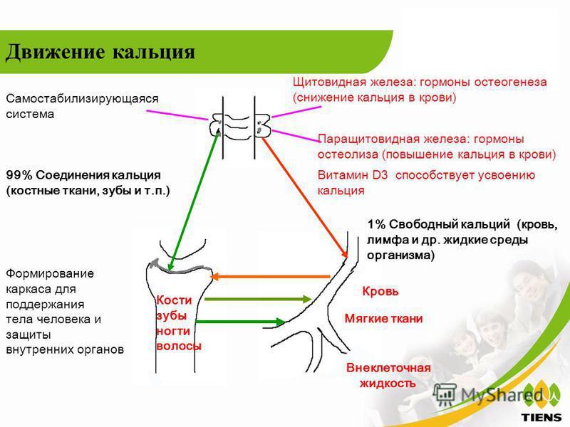 99% Соединения кальция (костные ткани, зубы и т.п.) 1% Свободный кальций (кровь, лимфа и др. жидкие среды организма) Кровь Мягкие ткани Внеклеточная жидкость Движение кальция Витамин D3 способствует усвоению кальция Щитовидная железа: гормоны остеоге