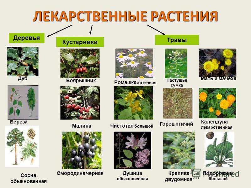 лекарственные травы кировской области фото и описание