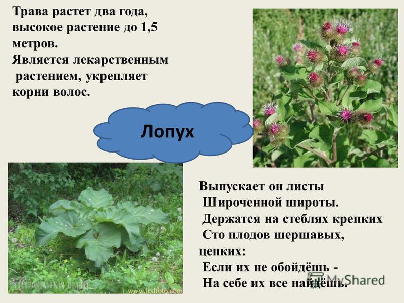 Трава растет два года, высокое растение до 1,5 метров. Является лекарственным растением, укрепляет корни волос. Лопух Выпускает он листы Широченной широты. Держатся на стеблях крепких Сто плодов шершавых, цепких: Если их не обойдёшь - На себе их все