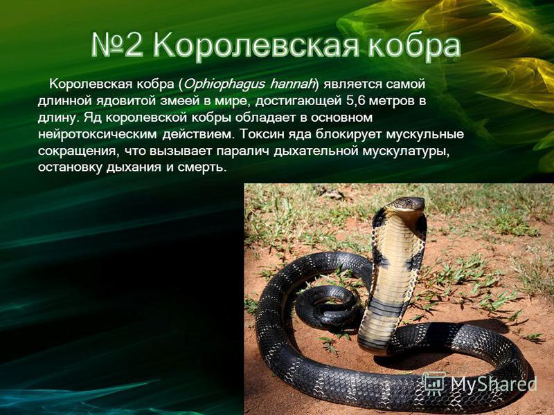 Королевская кобра (Ophiophagus hannah) является самой длинной ядовитой змеей в мире, достигающей 5,6 метров в длину. Яд королевской кобры обладает в основном нейротоксическим действием. Токсин яда блокирует мускульные сокращения, что вызывает паралич