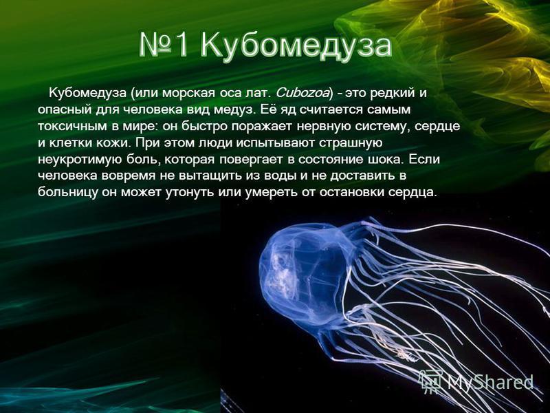 Кубомедуза (или морская оса лат. Cubozoa) – это редкий и опасный для человека вид медуз. Её яд считается самым токсичным в мире: он быстро поражает нервную систему, сердце и клетки кожи. При этом люди испытывают страшную неукротимую боль, которая пов