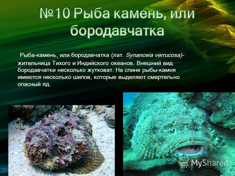 Рыба-камень, или бородавчатка (лат. Synanceia verrucosa)- жительница Тихого и Индийского океанов. Внешний вид бородавчатки несколько жутковат. На спине рыбы-камня имеются несколько шипов, которые выделяют смертельно опасный яд.