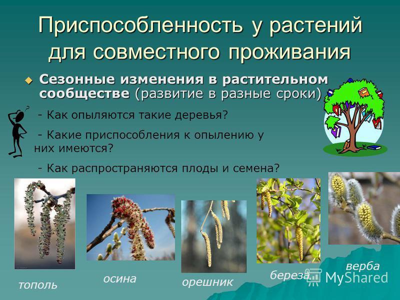 Приспособленность у растений для совместного проживания Сезонные изменения в растительном сообществе (развитие в разные сроки) Сезонные изменения в растительном сообществе (развитие в разные сроки) - Как опыляются такие деревья? - Какие приспособлени