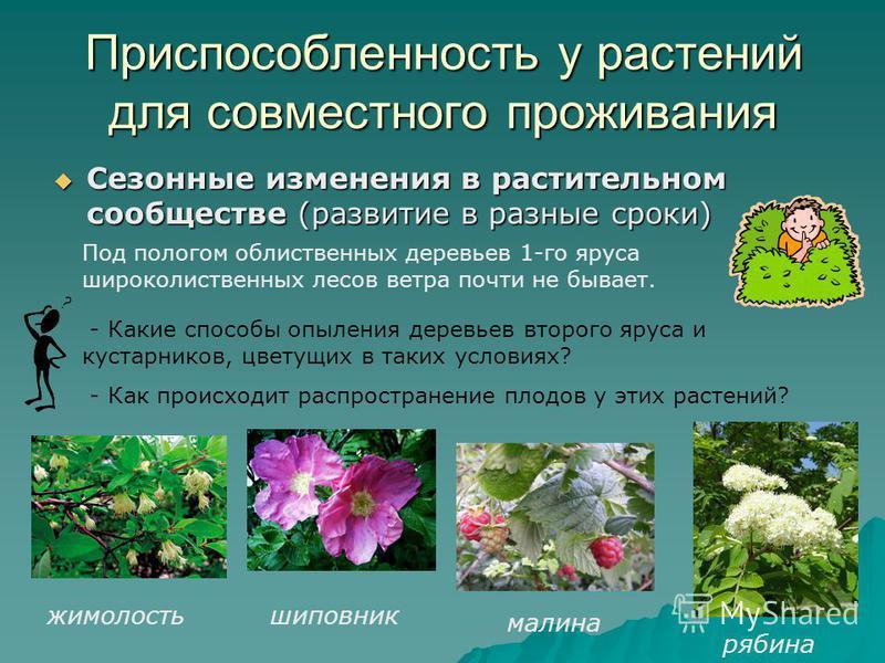 Приспособленность у растений для совместного проживания Сезонные изменения в растительном сообществе (развитие в разные сроки) Сезонные изменения в растительном сообществе (развитие в разные сроки) Под пологом облиственных деревьев 1-го яруса широкол