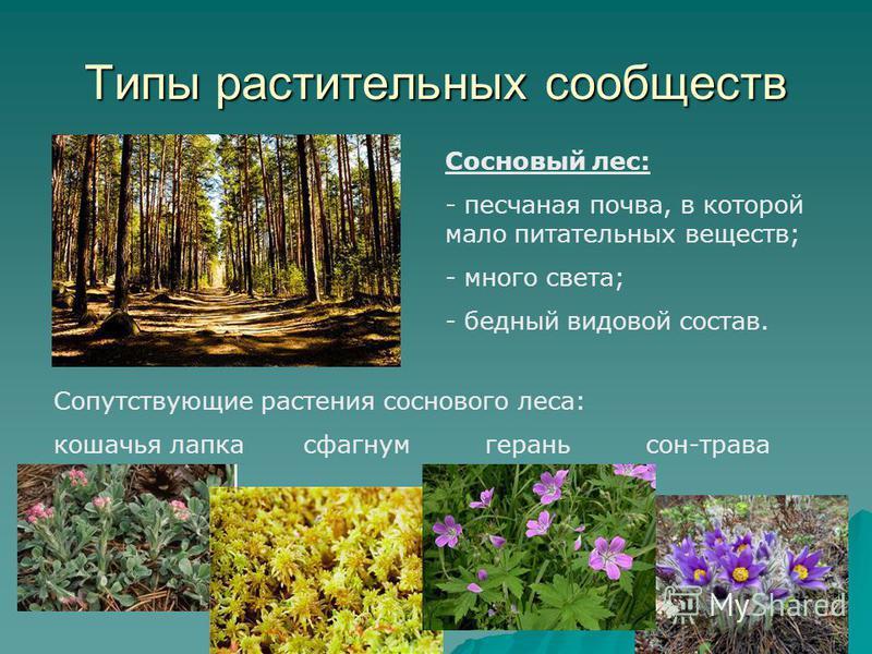 Типы растительных сообществ Сосновый лес: - песчаная почва, в которой мало питательных веществ; - много света; - бедный видовой состав. Сопутствующие растения соснового леса: кошачья лапка сфагнум герань сон-трава
