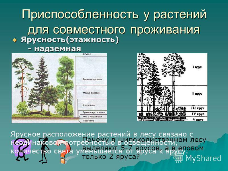 Приспособленность у растений для совместного проживания Ярусность(этажность) Ярусность(этажность) - надземная - надземная Почему в широколиственном лесу выделяют 5-7 ярусов, а в еловом только 2 яруса? Ярусное расположение растений в лесу связано с не