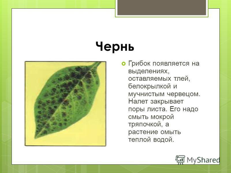 Чернь Грибок появляется на выделениях, оставляемых тлей, белокрылкой и мучнистым червецом. Налет закрывает поры листа. Его надо смыть мокрой тряпочкой, а растение омыть теплой водой.