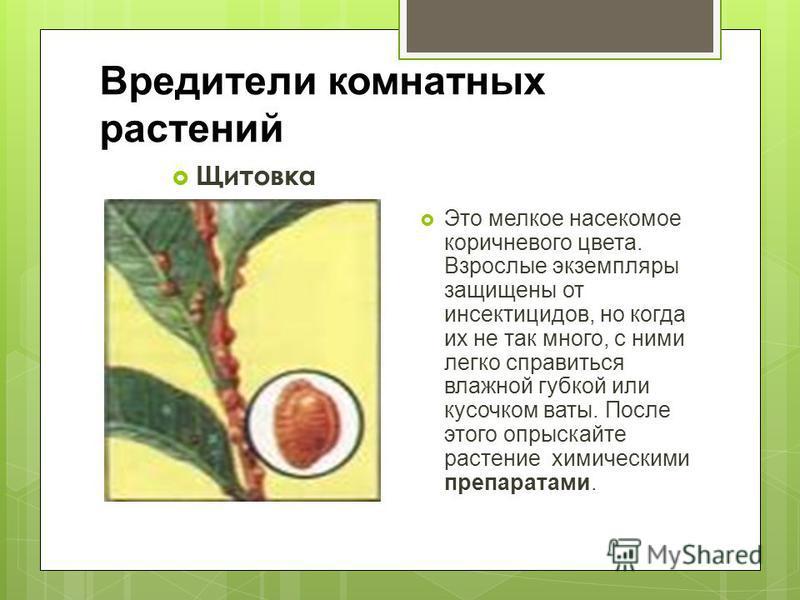 Вредители комнатных растений Щитовка Это мелкое насекомое коричневого цвета. Взрослые экземпляры защищены от инсектицидов, но когда их не так много, с ними легко справиться влажной губкой или кусочком ваты. После этого опрыскайте растение химическими