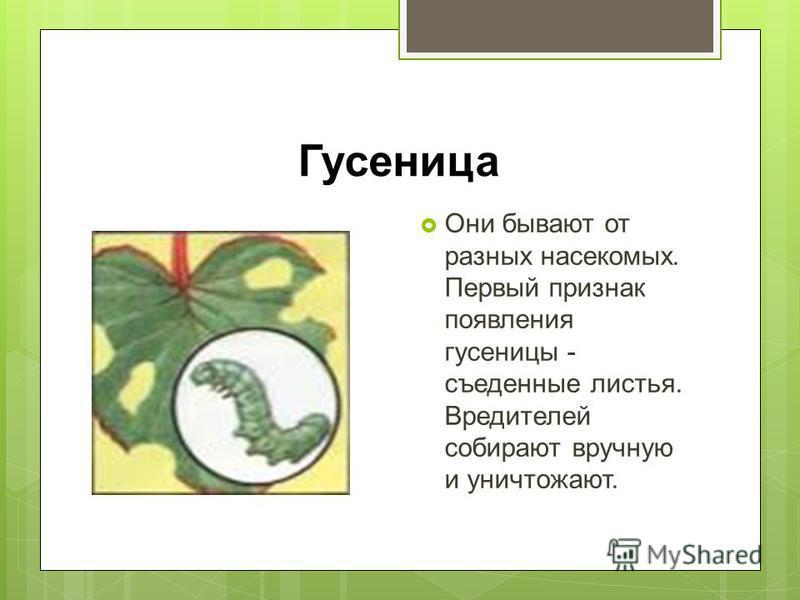 Гусеница Они бывают от разных насекомых. Первый признак появления гусеницы - съеденные листья. Вредителей собирают вручную и уничтожают.
