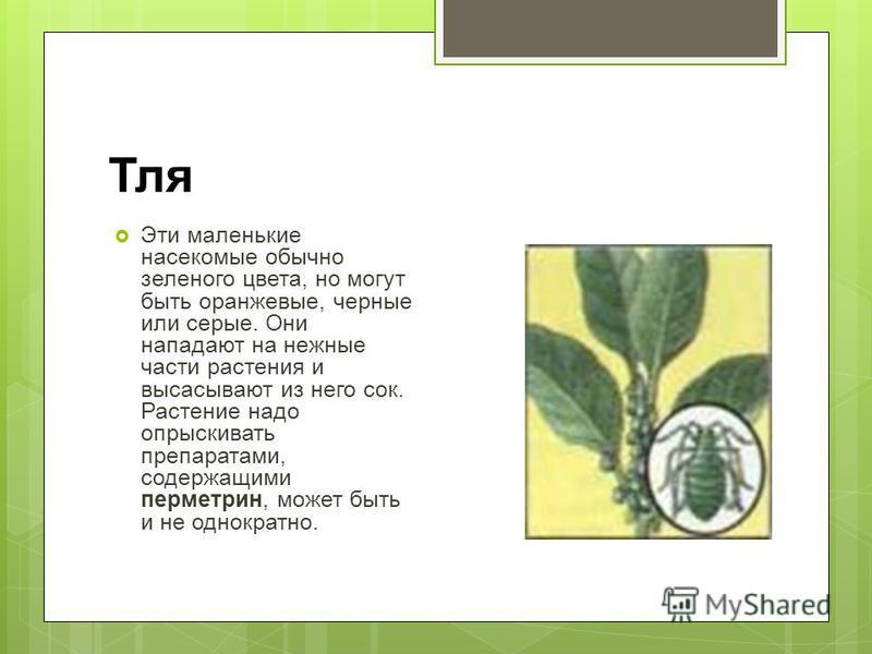Тля Эти маленькие насекомые обычно зеленого цвета, но могут быть оранжевые, черные или серые. Они нападают на нежные части растения и высасывают из него сок. Растение надо опрыскивать препаратами, содержащими перметрин, может быть и не однократно.