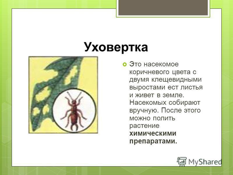 Уховертка Это насекомое коричневого цвета с двумя клещевидными выростами ест листья и живет в земле. Насекомых собирают вручную. После этого можно полить растение химическими препаратами.