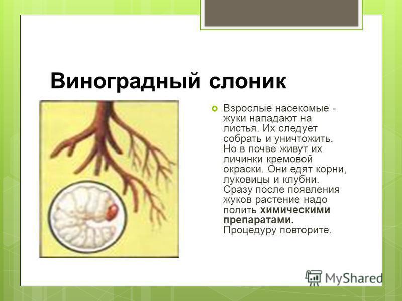 Виноградный слоник Взрослые насекомые - жуки нападают на листья. Их следует собрать и уничтожить. Но в почве живут их личинки кремовой окраски. Они едят корни, луковицы и клубни. Сразу после появления жуков растение надо полить химическими препаратам