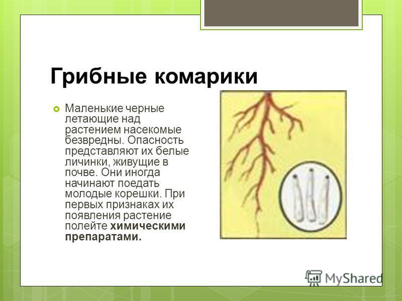 Грибные комарики Маленькие черные летающие над растением насекомые безвредны. Опасность представляют их белые личинки, живущие в почве. Они иногда начинают поедать молодые корешки. При первых признаках их появления растение полейте химическими препар