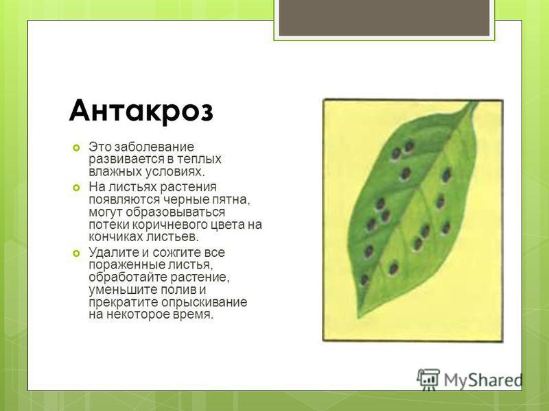 Антакроз Это заболевание развивается в теплых влажных условиях. На листьях растения появляются черные пятна, могут образовываться потеки коричневого цвета на кончиках листьев. Удалите и сожгите все пораженные листья, обработайте растение, уменьшите п