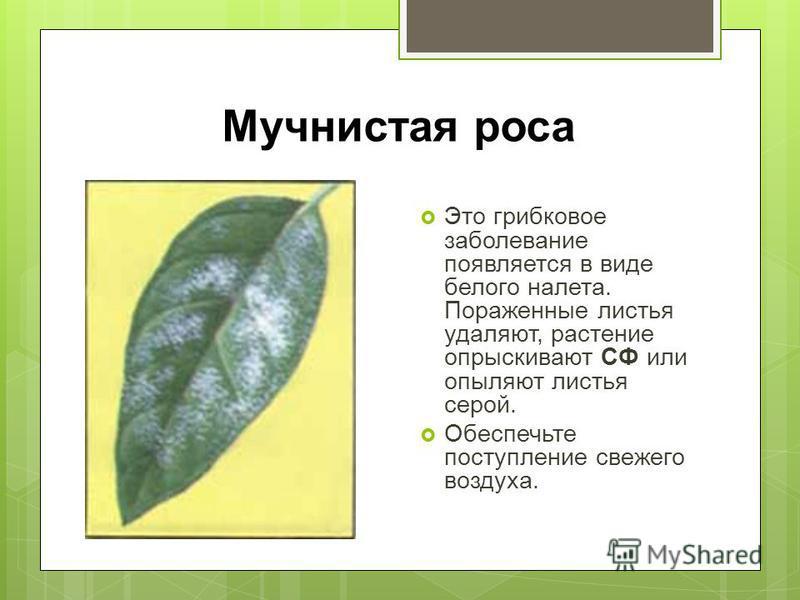 Мучнистая роса Это грибковое заболевание появляется в виде белого налета. Пораженные листья удаляют, растение опрыскивают СФ или опыляют листья серой. Обеспечьте поступление свежего воздуха.