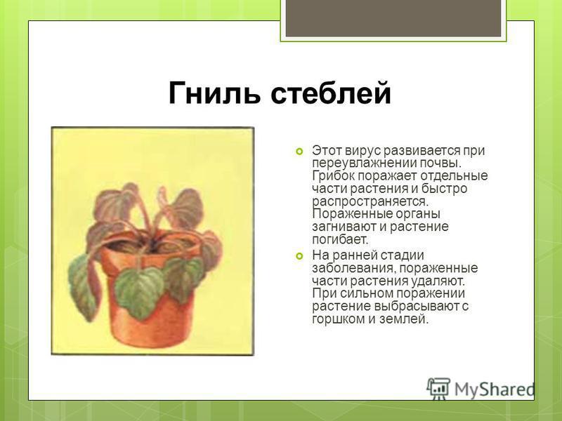 Гниль стеблей Этот вирус развивается при переувлажнении почвы. Грибок поражает отдельные части растения и быстро распространяется. Пораженные органы загнивают и растение погибает. На ранней стадии заболевания, пораженные части растения удаляют. При с